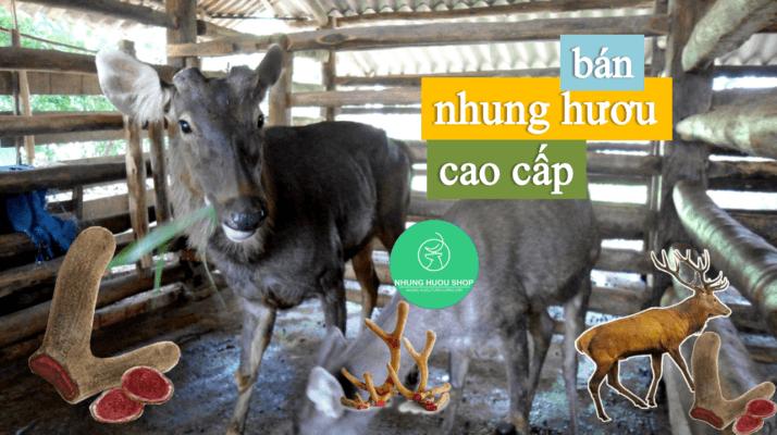đơn vị bán nhung hươu số 1 Việt Nam